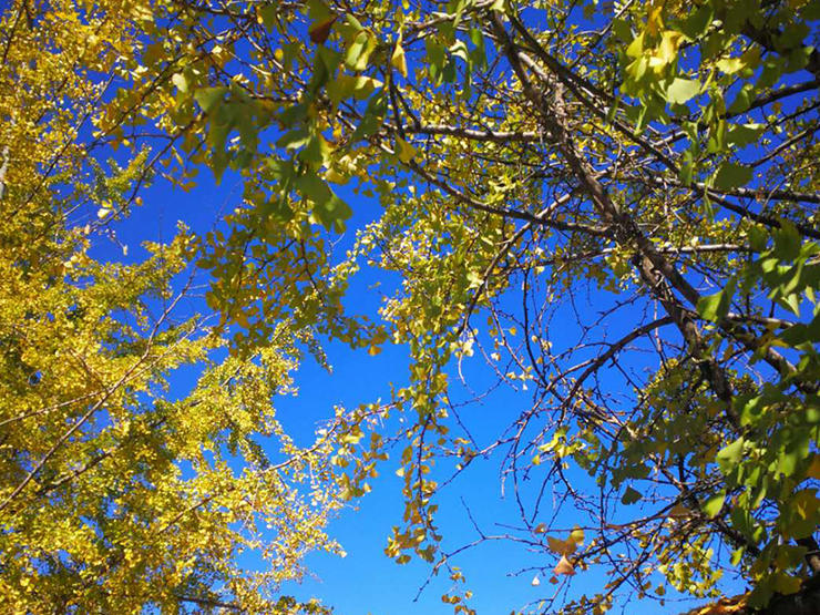 under the blue sky ginkgo leaves